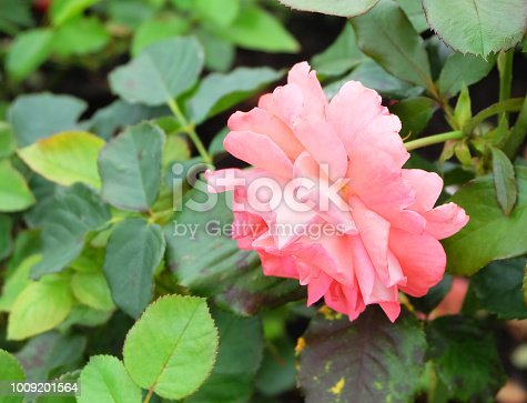 Lush peach-pink tea rose on a bush among green foliage in summer park.