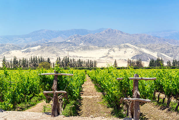 Lush Pisco Vineyard in Peru Lush green vineyard for the production of pisco in Ica, Peru with dry sand covered hills in the background pisco peru stock pictures, royalty-free photos & images