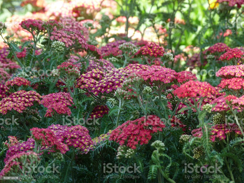 Lush Red and Pink Yarrow Flowers and Ferny Foliage stock photo