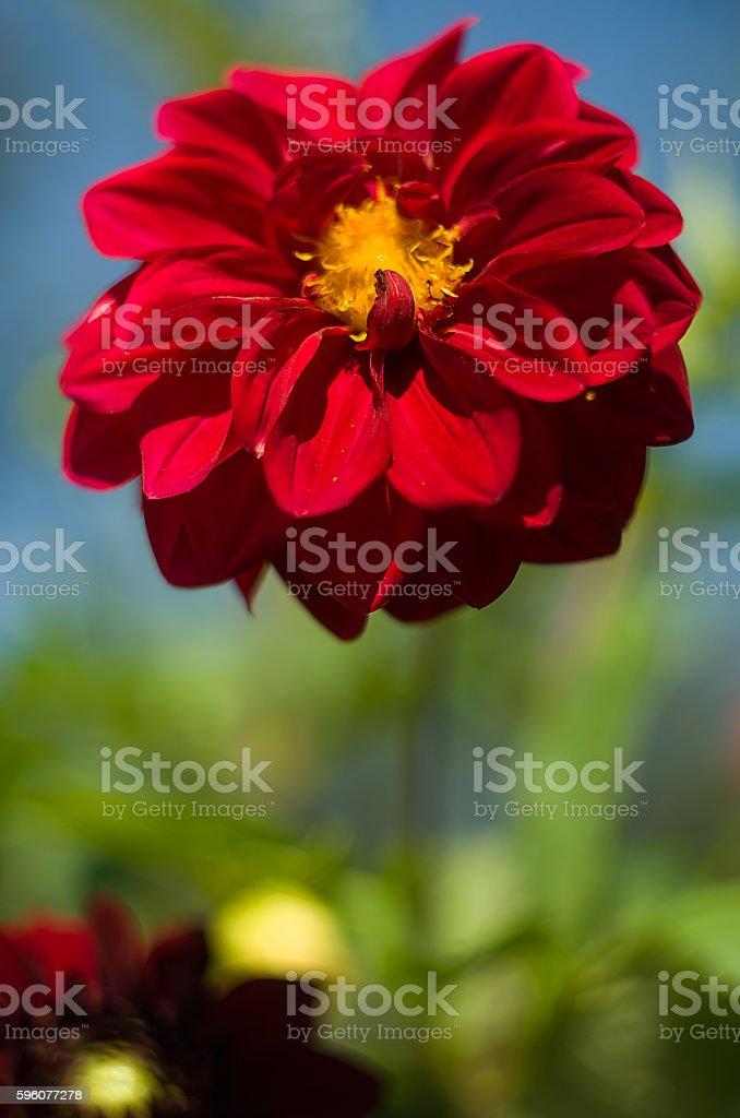 Lush red dahlia royalty-free stock photo