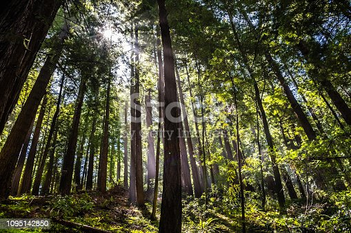 Lush Redwood (Sequoia sempervirens) forest, Butano State Park, San Francisco bay area, California