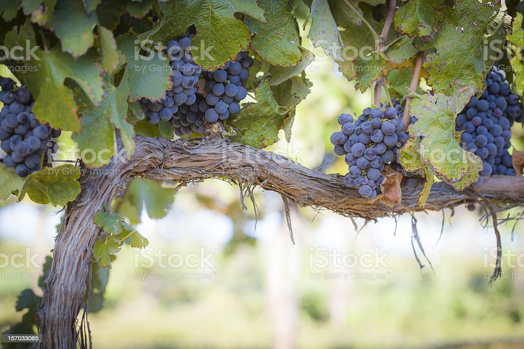 Lush, Ripe Wine Grapes on the Vine royalty-free stock photo