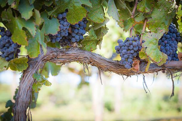 Lush, Ripe Wine Grapes on the Vine Vineyard with Lush, Ripe Wine Grapes on the Vine Ready for Harvest. cabernet sauvignon grape stock pictures, royalty-free photos & images