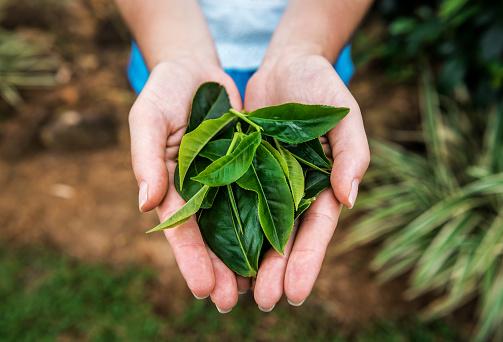 lush tea leaves in the human hands on Sri Lanka