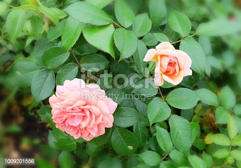 Lush pink tea roses on a bush among green foliage in the park in the summer.
