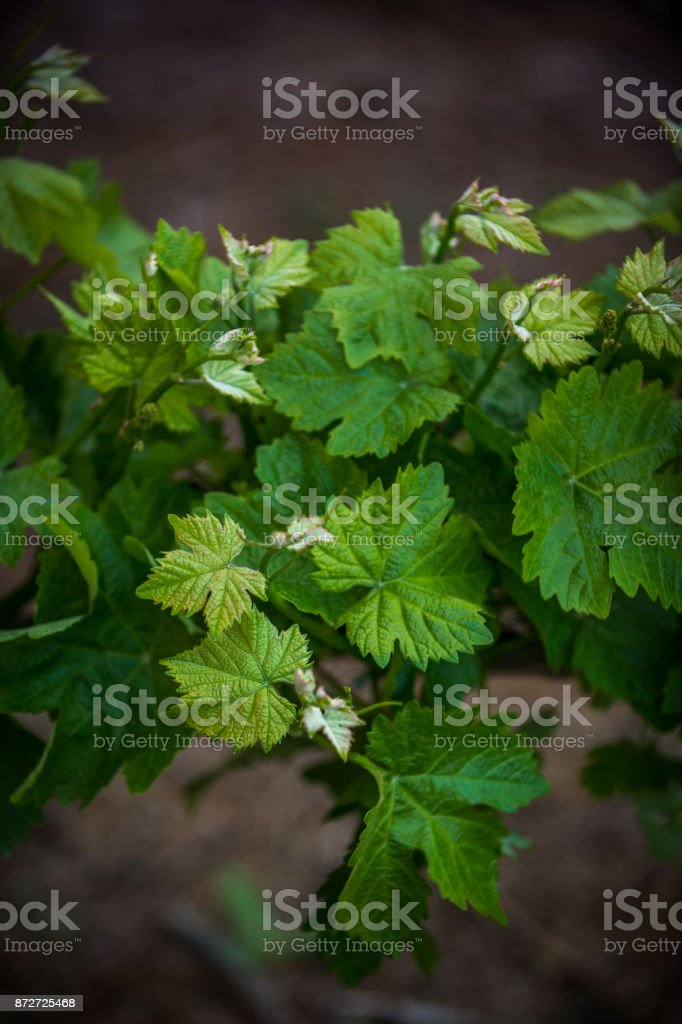 Lush Vine in Spring stock photo