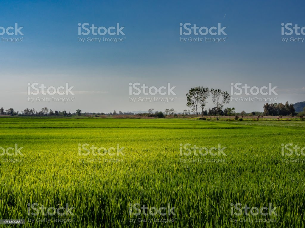Lush wheat field on a spring day - foto stock