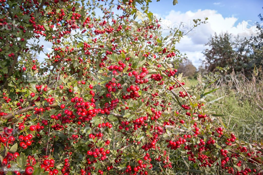 Lush white thorn bush with red fruits in autumn stock photo
