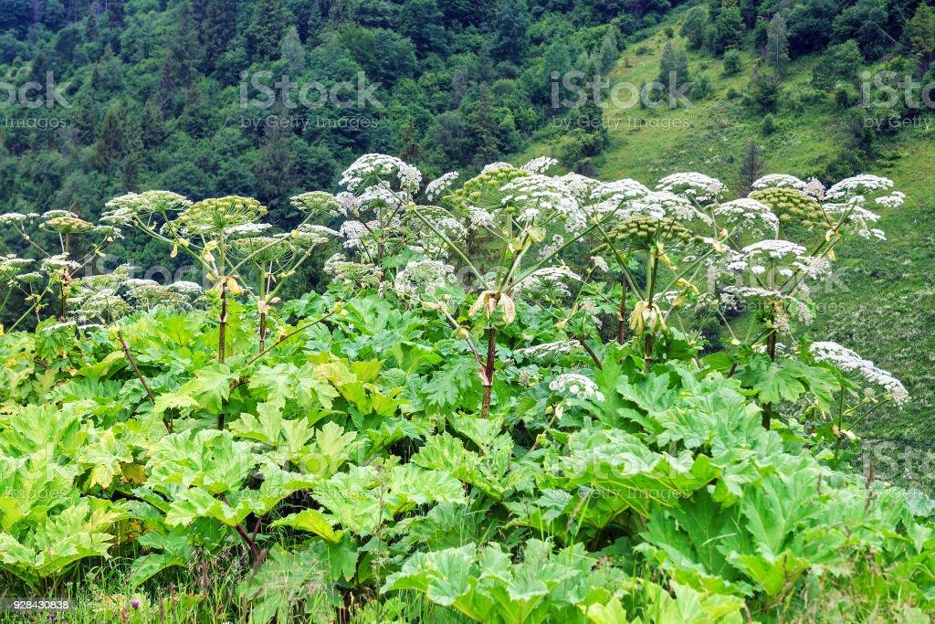 Weelderige wilde Reuzenberenklauw plant foto