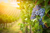 istock Lush Wine Grapes Clusters Hanging On The Vine 1170353589