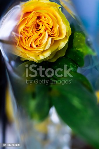 A lush yellow rose in a transparent film cellophane packaging. Polyethylene film. Plastic pollution and the environmental problem