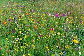 lushly blooming wild flowers meadow
