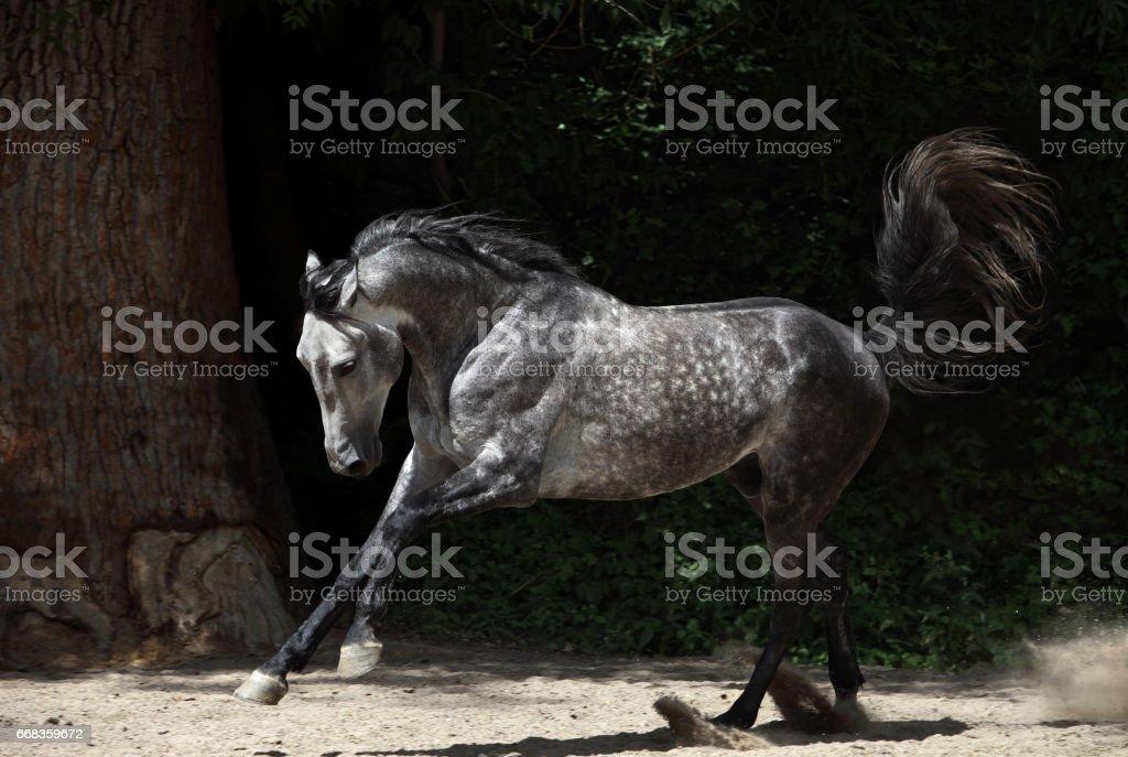 Lusitanian horse runs gallop stock photo