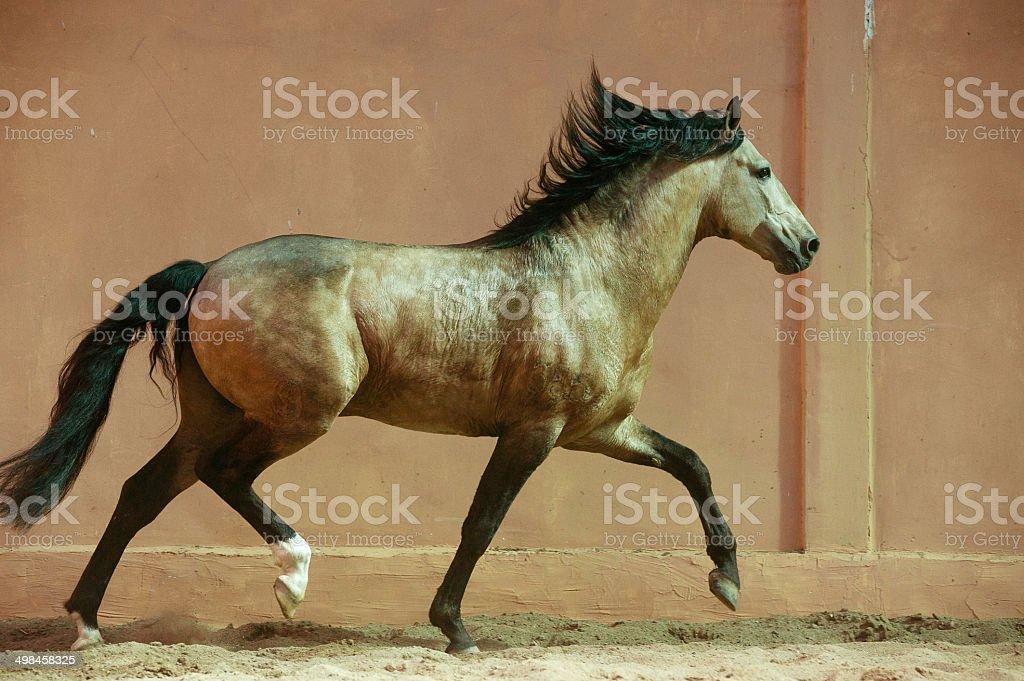 lusitano breed stallion at abstract background stock photo