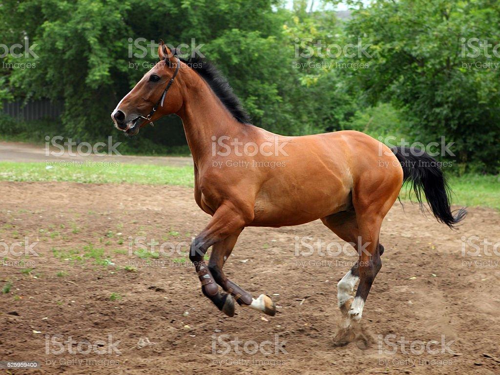 Lusitano horse galloping stock photo