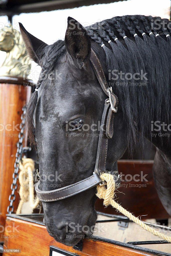 Lusitano horse head stock photo