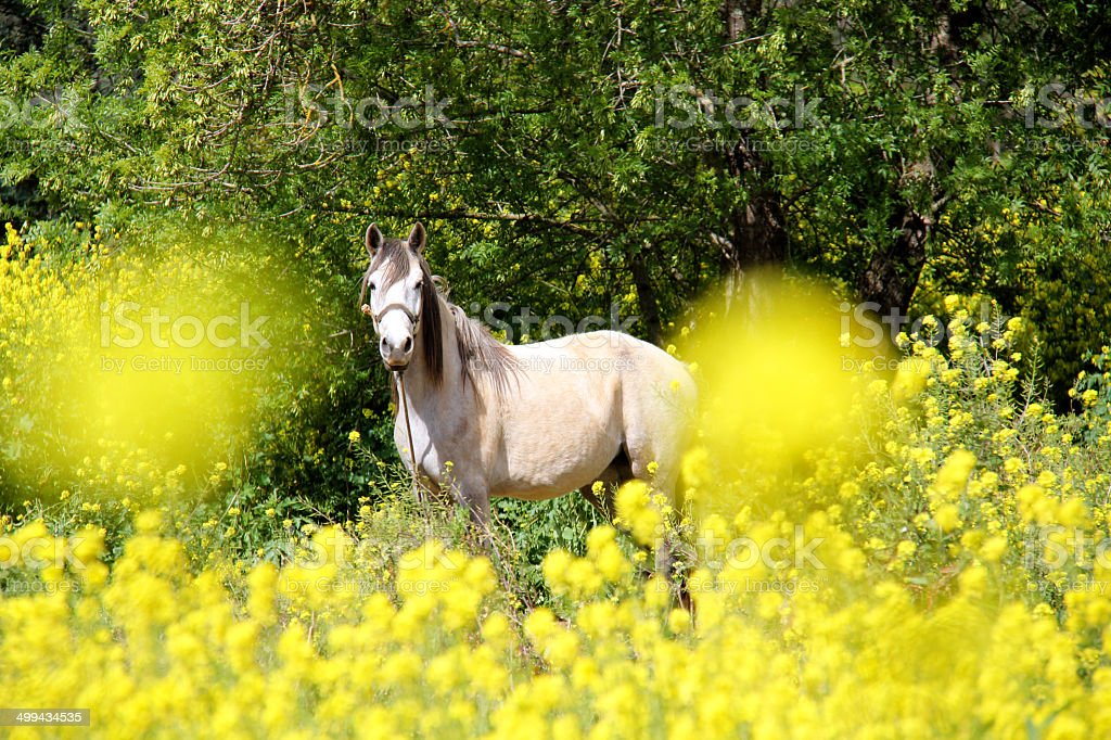 Lusitano horse in field of flowers stock photo