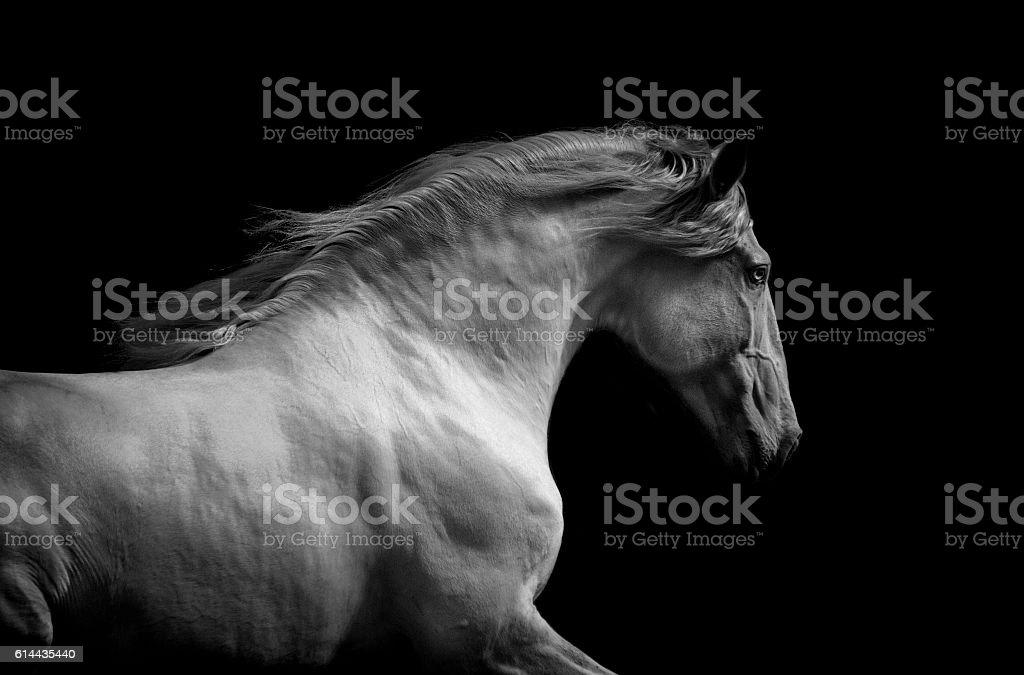 lusitano horse monochrome dramatic portrait stock photo