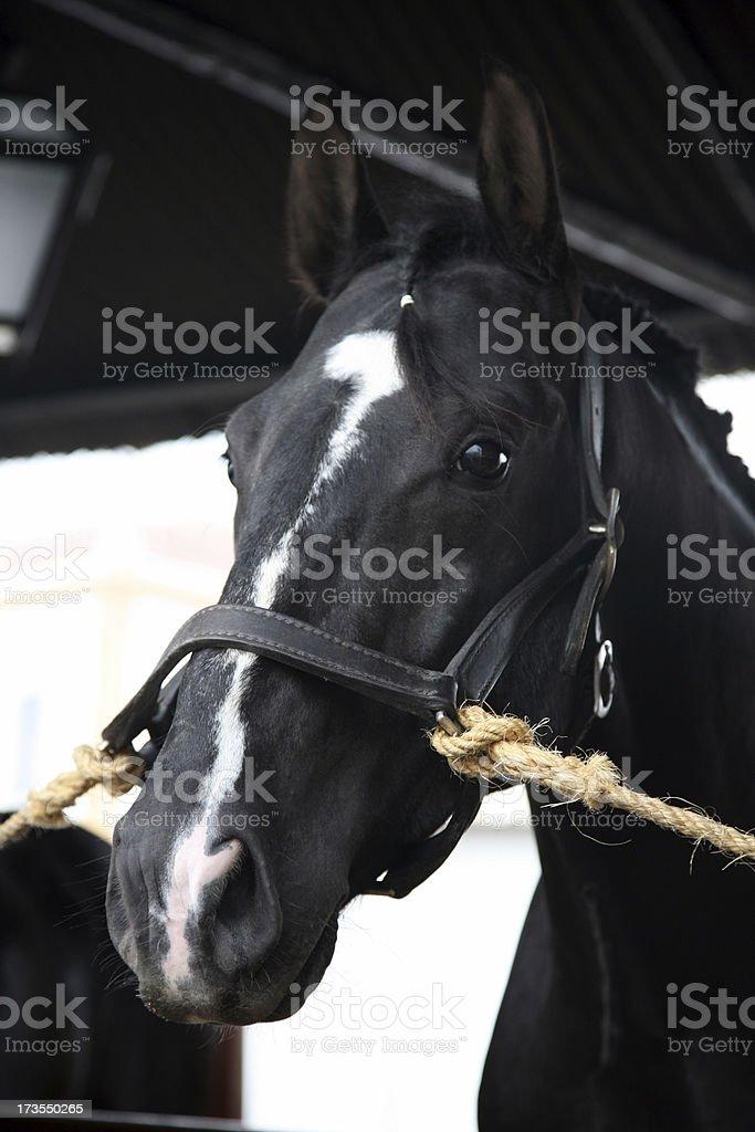 Lusitano horse stock photo