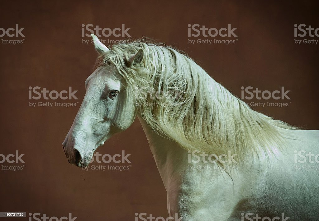 lusitano horse portrait with red wall behind stock photo