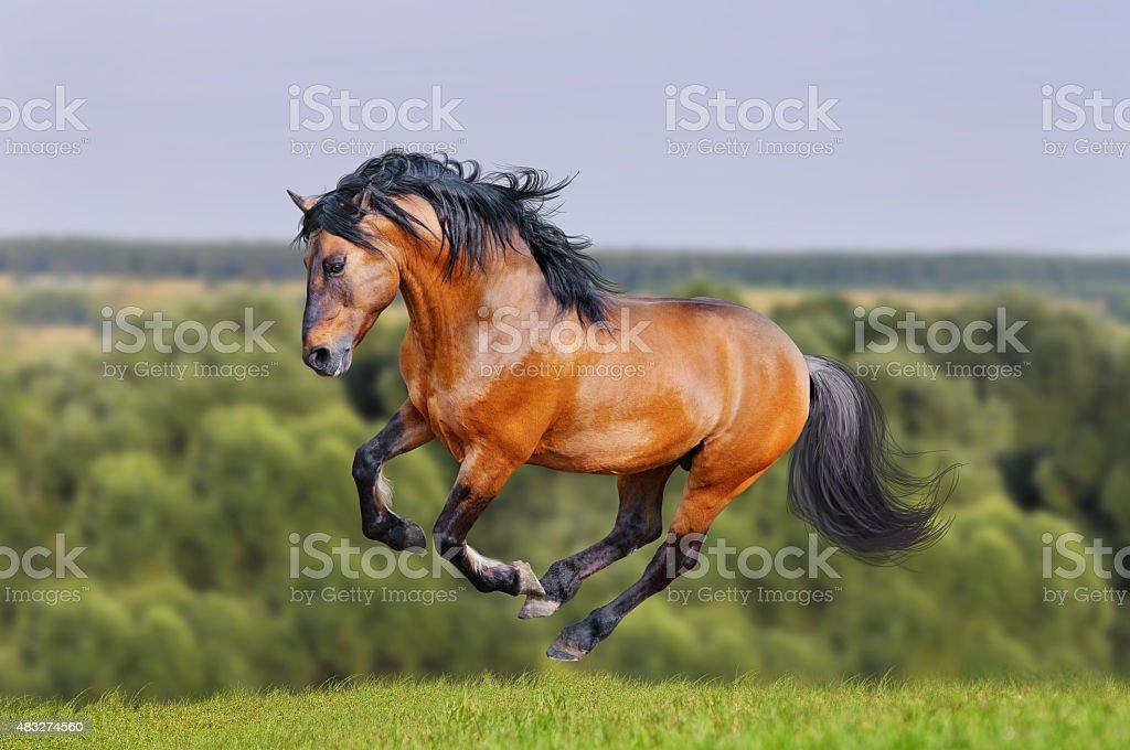 lusitano horse runs free in the field stock photo