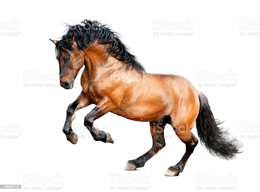 lusitano stallion galloping isolated on white stock photo