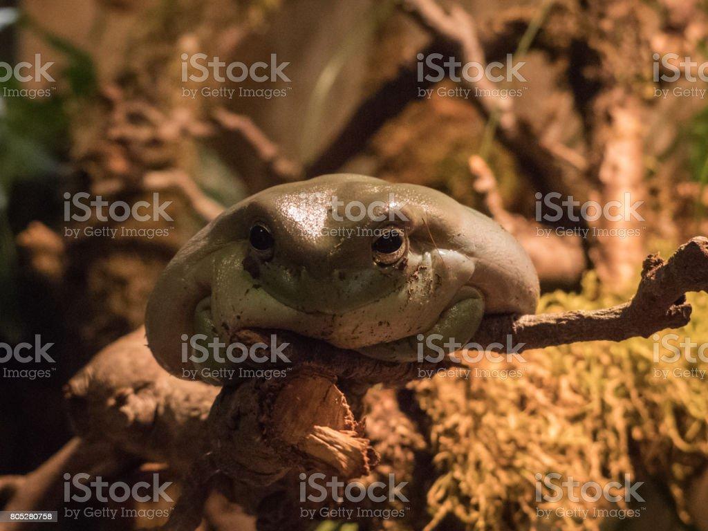 Lustiger Frosch auf einem Ast stock photo