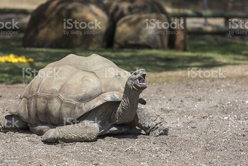 Luth Turtle Lying Down on the Ground with Mouth Open royalty-free stock photo