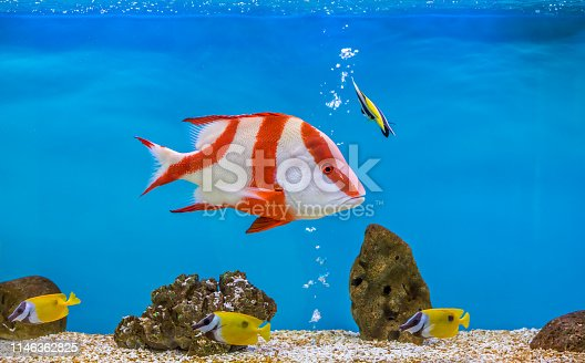 It is also known as the emperor red snapper