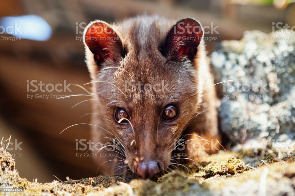 Luwak - Asian palm civet making most expensive coffee in the world  royalty-free stock