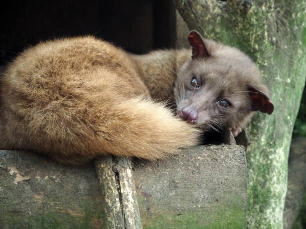 repos de luwak au - gato civeta fotografías e imágenes de stock