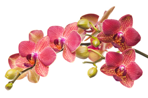 Bunch of fresh Red and Magenta orchid flowers isolated on white background.