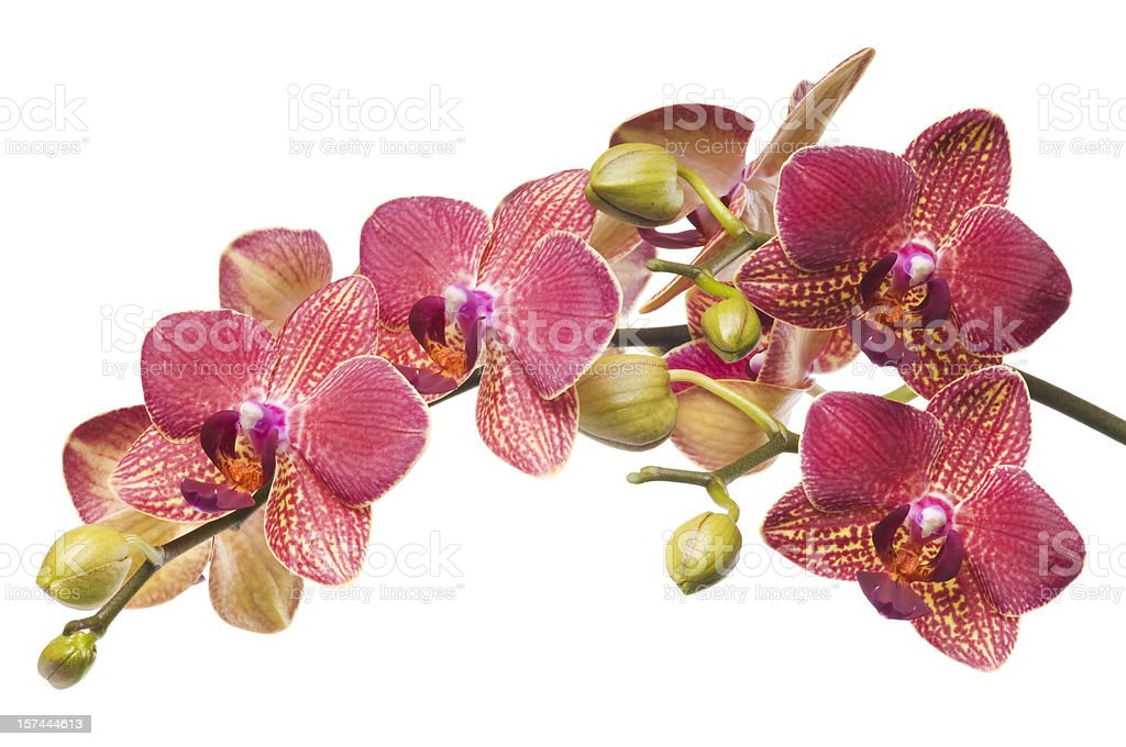 Luxury Beautiful red orchid on white stock photo