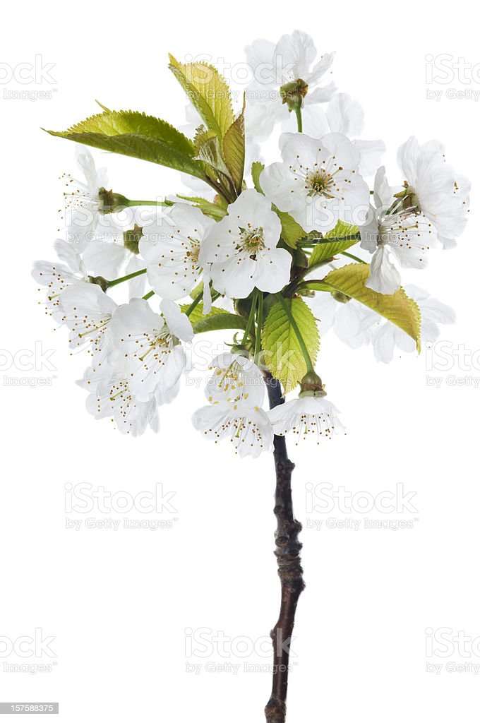 Luxury Cherry blossom on white royalty-free stock photo
