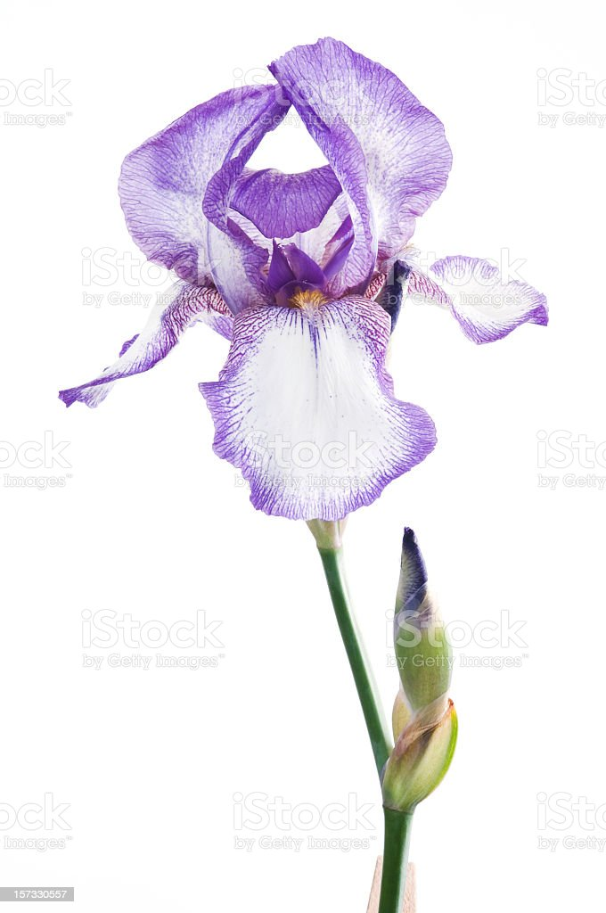 Luxury purple iris flower on white background stock photo