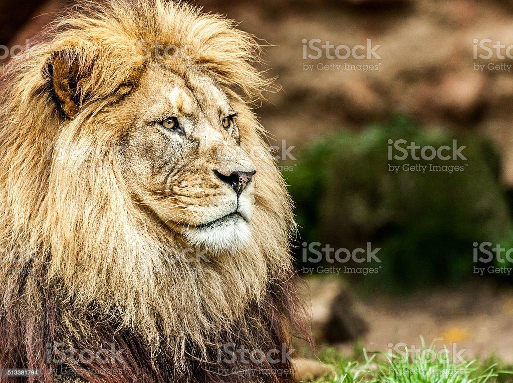 Lion cub Porträt - Lizenzfrei Faszination Stock-Foto