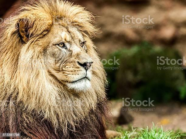 Lion Cub Porträt Stockfoto und mehr Bilder von Faszination