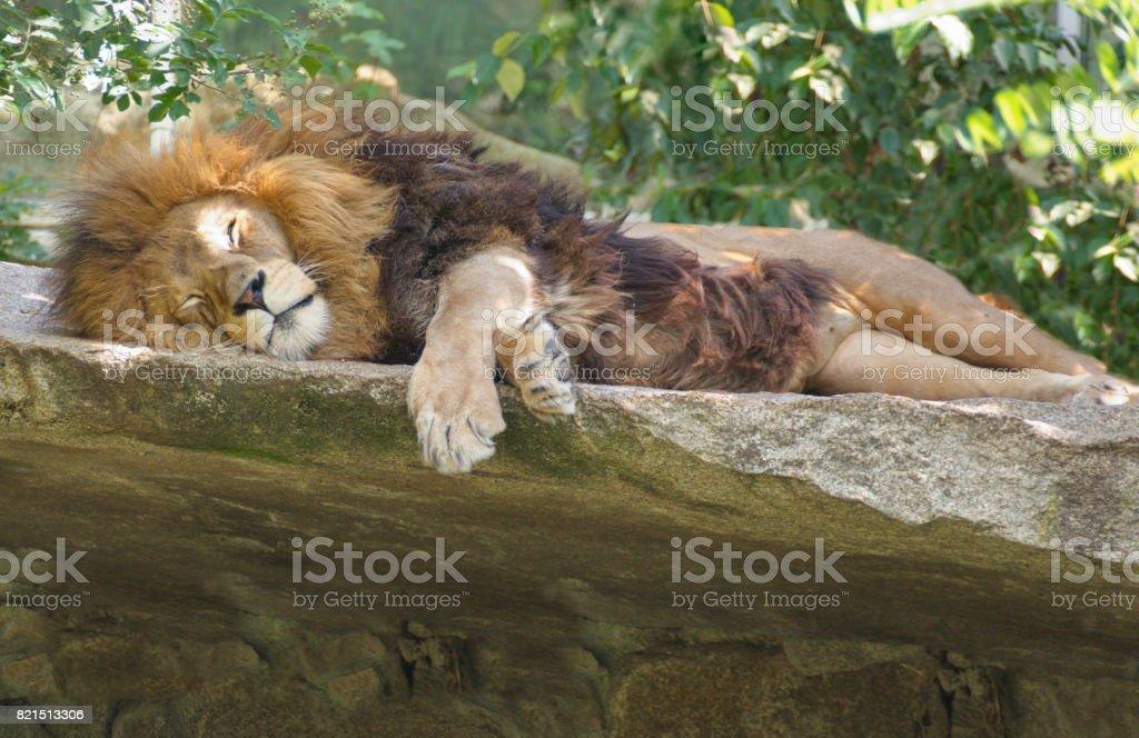 Löwe schläft auf Felsen stock photo