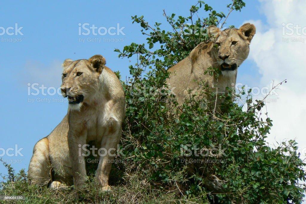 Löwen stock photo