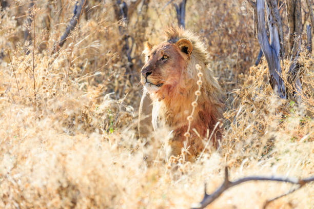 Löwenmännchen Mit Blutverschmierter Machine – Foto
