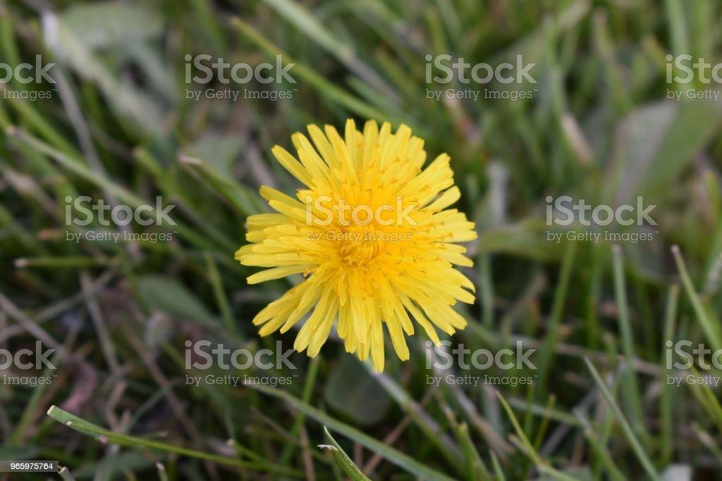 Maskros blomma huvudet - Royaltyfri Blomma Bildbanksbilder