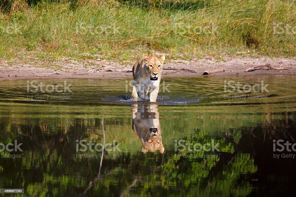 Löwin stock photo