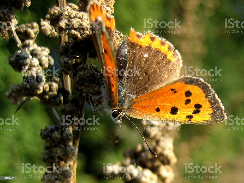 Lycaena phlaeas / Small Copper royalty-free stock photo