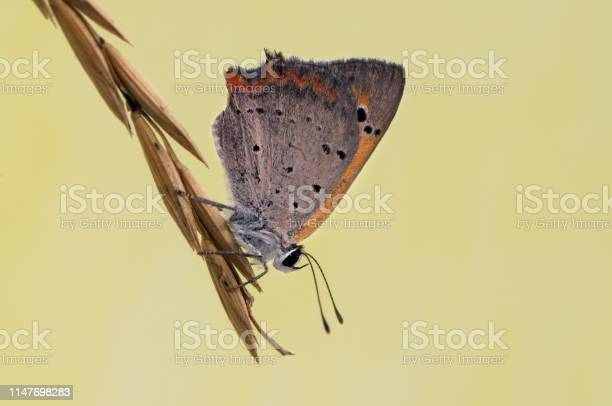 Lycaena virgaureae butterfly on a dry blade in the early morning in a picture id1147698283?b=1&k=6&m=1147698283&s=612x612&h=mfa09qj5fdvsn w8jue2ccrw6xzneyyf3low5 exurm=