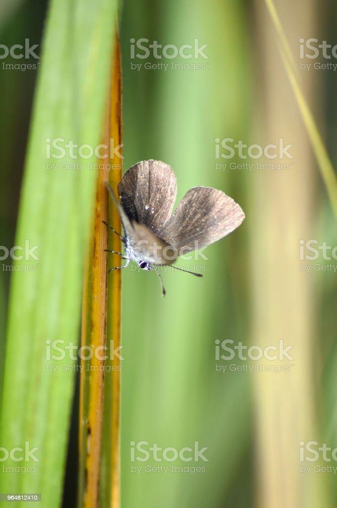 Lycaenidae royalty-free stock photo