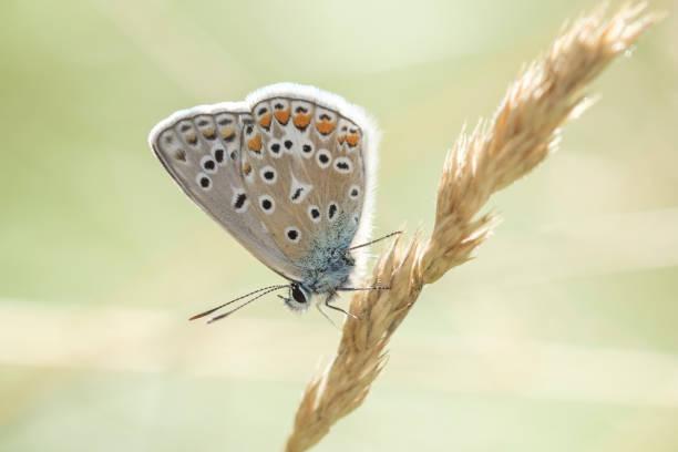 lycanidae - matthias gaberthüel stock-fotos und bilder