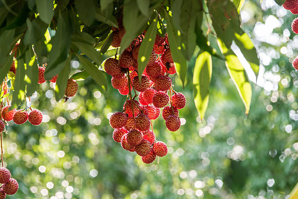 lychee fruit in thailand stock photo