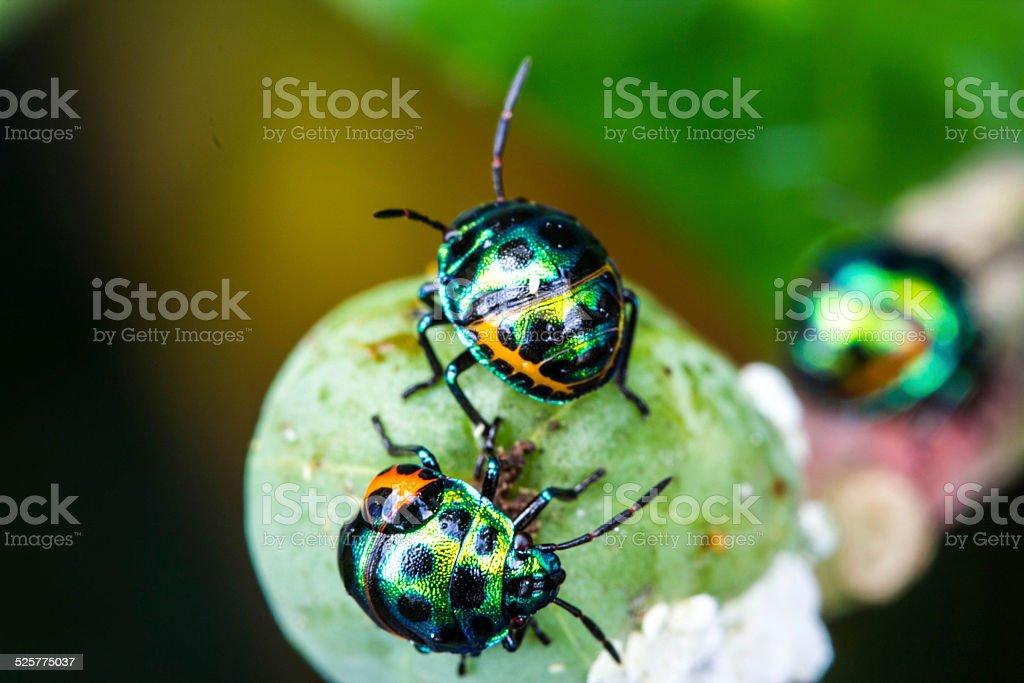 Lychee Shield Bug stock photo