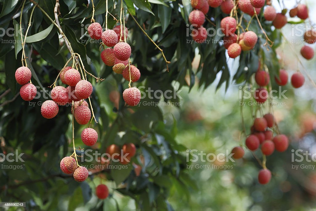 Lychee tree - Royalty-free Cultivated Stock Photo