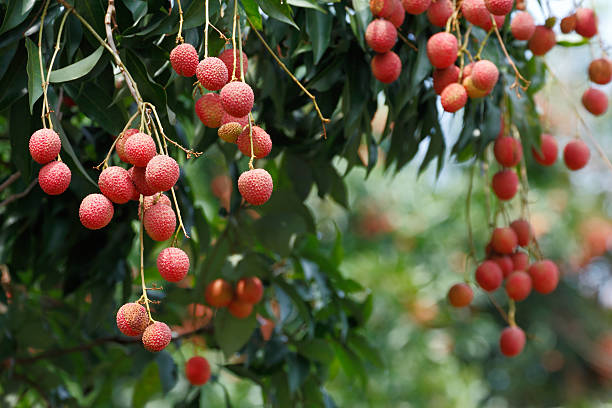 Lychee tree stock photo